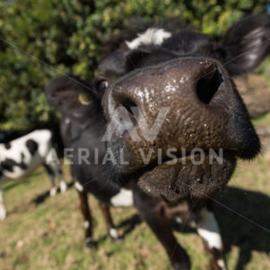 Close Encounter with a Cow - Aerial Vision Stock Imagery