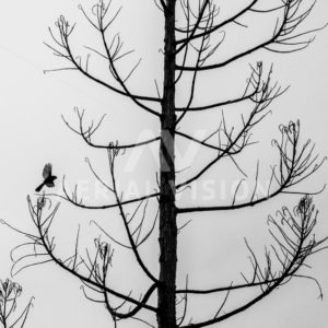 Fantail Silhouette - Aerial Vision Stock Imagery