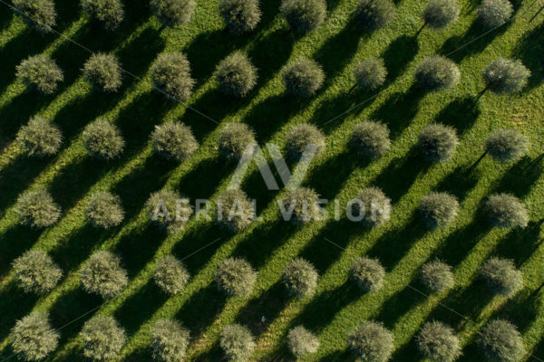 Olive Grove Top-down - Aerial Vision Stock Imagery